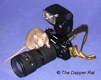 Rat photography tips